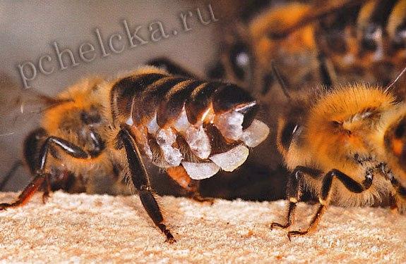 Восковые желёзы пчелы