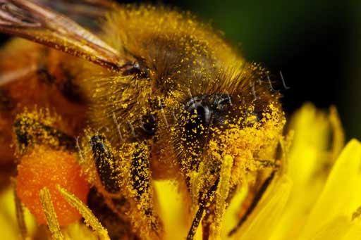 Пыльца на пчеле