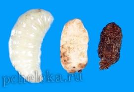Личинки поражённые аспергиллёзом