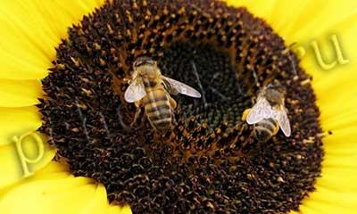 Пчёлы опыляют цветок