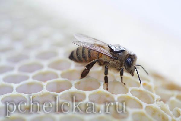Микродатчик на пчеле