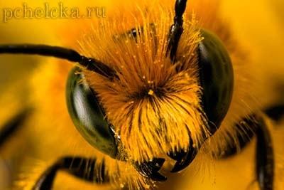Пчёлы чувствуют электрическое поле