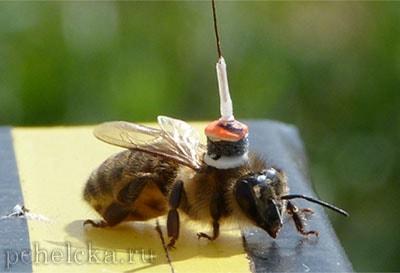 Пчела с транспондером